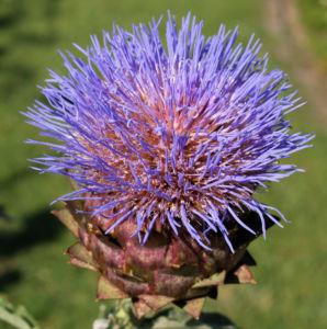 Artischocke Bluete lila Frucht braun Cynaria scolymus 10