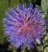 Zurück zum kompletten Bilderset Artischocke Blüte lila Frucht braun Cynaria scolymus