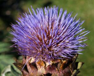 Artischocke Bluete lila Frucht braun Cynaria scolymus 12