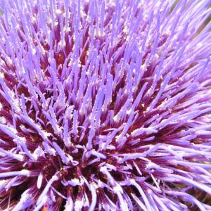 Artischocke Bluete lila Cynara scolymus 02