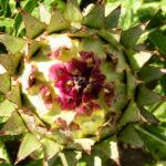 Artischocke Bluete lila Cynara scolymus 03