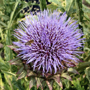 Artischocke Bluete lila Cynara scolymus 04