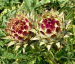 Artischocke Bluete lila Cynara scolymus 05 2