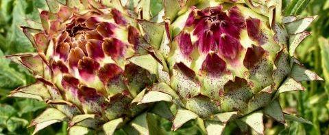 Anklicken um das ganze Bild zu sehen Artischocke Blüte lila - Cynara scolymus