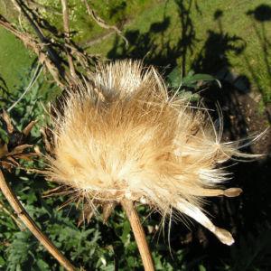 Artischocke Samen silber braun Cynara scolymus 01