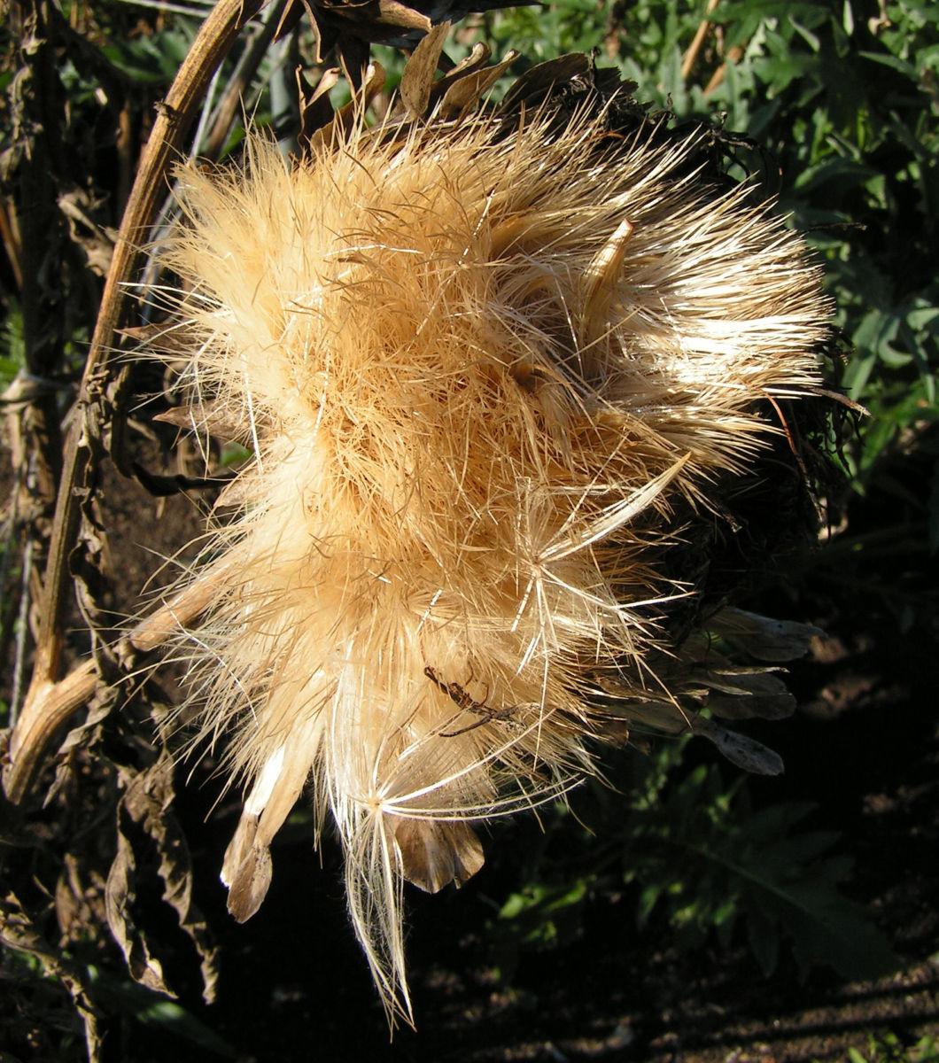 Artischocke Samen silber braun Cynara scolymus