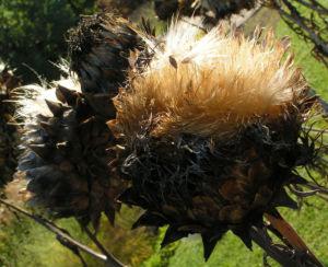 Bild: Artischocke Samen silber braun Cynara scolymus