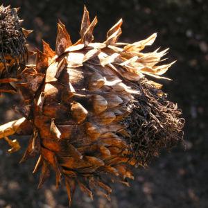 Artischocke Samen silber braun Cynara scolymus 08