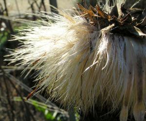 Artischocke Samen silber braun Cynara scolymus 13