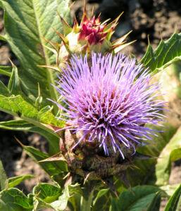 Artischoke Bluete lila Cynara scolymus 04