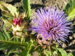 Bild: Artischoke Blüte lila - Cynara scolymus