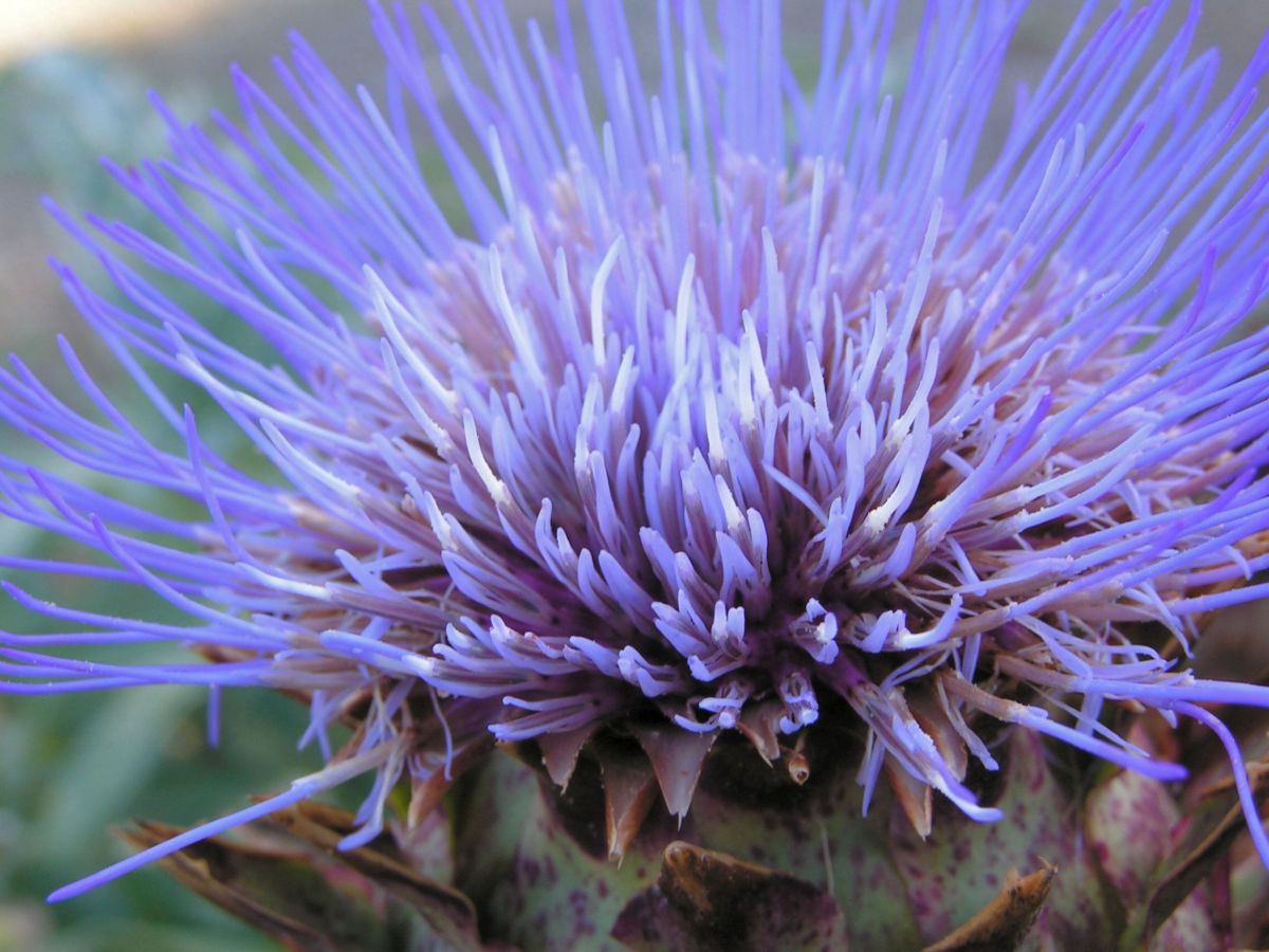 Artischoke Bluete lila Cynara scolymus