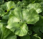 Asiatische Pestwurz Blatt gruen Petasites japonicus 06
