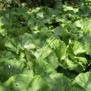 Asiatische Pestwurz Blatt gruen Petasites japonicus 10