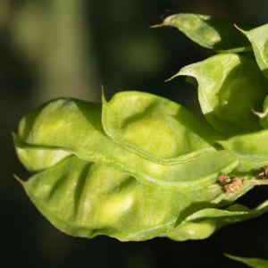 Asiatisches Gelbholz Frucht gruen Maackia 01