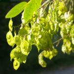 Asiatisches Gelbholz Frucht gruen Maackia 03