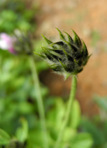 Asphaltklee Blatt Knospe gruen Bituminaria bituminosa 02