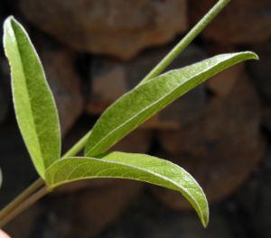 Asphaltklee Blatt gruen Bituminaria bituminosa 03