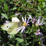 Aster Bluete hellblau Aster foliaceus 01 2
