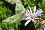 Aster Bluete hellblau Aster foliaceus 04