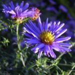Bild:  Aster Blüte blau Aster