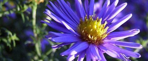 Anklicken um das ganze Bild zu sehen  Aster Blüte blau Aster