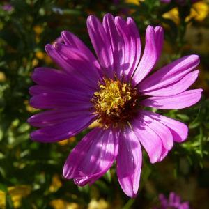 Aster gelb lila Aster novi belgii 03