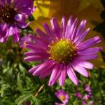 Aster gelb lila Aster novi belgii 05