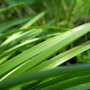 Atlantisches Hasengloeckchen Blatt gruen Hyacinthoides non scripta 08