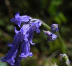 Atlantisches Hasengloeckchen Bluete blau Hyacinthoides non scripta01