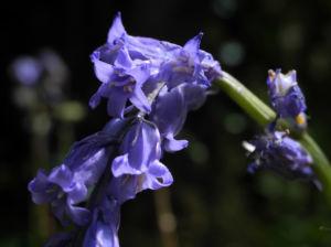 Atlantisches Hasengloeckchen Bluete blau Hyacinthoides non scripta02