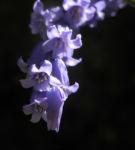 Atlantisches Hasengloeckchen Bluete blau Hyacinthoides non scripta03