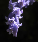Bild: Atlantisches Hasenglöckchen Blüte blau Hyacinthoides non-scripta