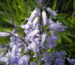 Atlantisches Hasengloeckchen Bluete hell blau Hyacinthoides non scripta 02