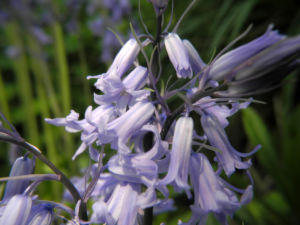 Atlantisches Hasengloeckchen Bluete hell blau Hyacinthoides non scripta 03