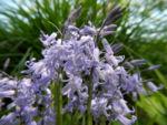 Atlantisches Hasengloeckchen Bluete hell blau Hyacinthoides non scripta 04