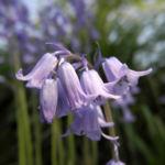 Atlantisches Hasengloeckchen Bluete hell blau Hyacinthoides non scripta 05