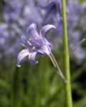 Atlantisches Hasengloeckchen Bluete hell blau Hyacinthoides non scripta 06