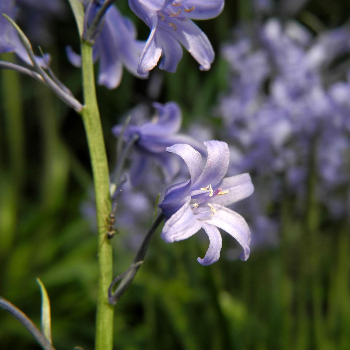 Atlantisches Hasengloeckchen Bluete hell blau Hyacinthoides non scripta