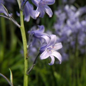 Atlantisches Hasengloeckchen Bluete hell blau Hyacinthoides non scripta 12