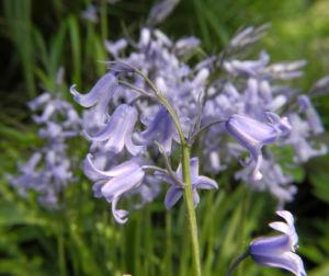 Atlantisches Hasengloeckchen Bluete hell blau Hyacinthoides non scripta 13