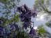 Zurück zum kompletten Bilderset Atlantisches Hasenglöckchen Hyacinthoides non-scripta