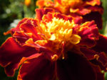 Aufrechte Studentenblume Bluete gelb rot Tagetes erecta 02