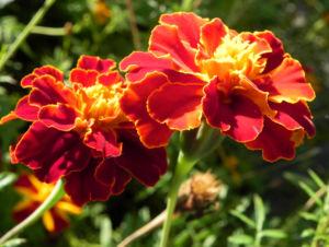 Aufrechte Studentenblume Bluete gelb rot Tagetes erecta 05