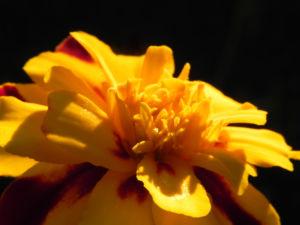 Aufrechte Studentenblume Bluete gelb rot Tagetes erecta 08