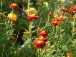 Aufrechte Studentenblume Bluete gelb rot Tagetes erecta 12