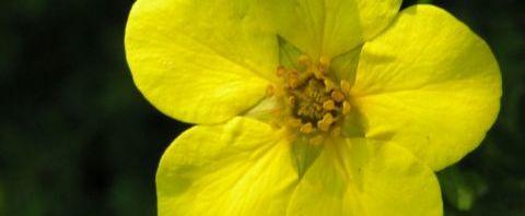 Anklicken um das ganze Bild zu sehen Hohes Fingerkraut Blüte gelb Potentilla recta