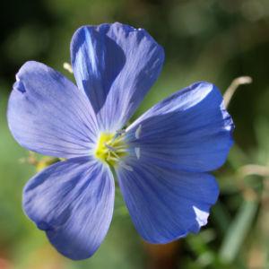 Ausdauernder Lein Stauden Lein Bluete hellblau Linum perenne 03
