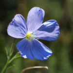 Ausdauernder Lein Stauden Lein Bluete hellblau Linum perenne 06