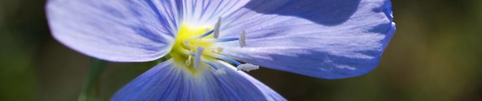 ausdauernder-lein-stauden-lein-bluete-hellblau-linum-perenne